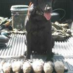 1 1/2 limits of Blue-Wing Teal for Coach