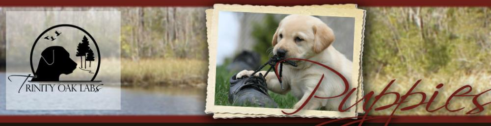 Hunting Retriever Champion Puppies!! AKC and UKC Labrador Breeder in
