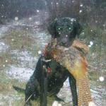 Tory and a rooster pheasant