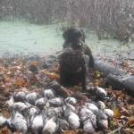 Tory and the whole bunch of ducks that she retrieved! 26 total - 5 limits of Woodies, 8 teal and a couple Mallards. October 2008